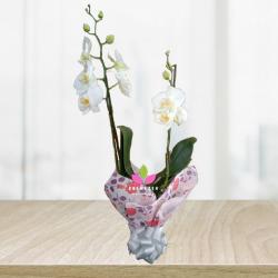 Orquidea Natural Blanca