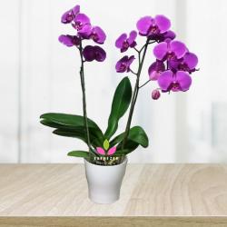 Orquidea Natural Morada